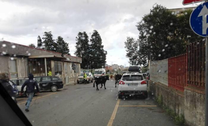 Palermo, gruppo di bovini entra in ospedale$