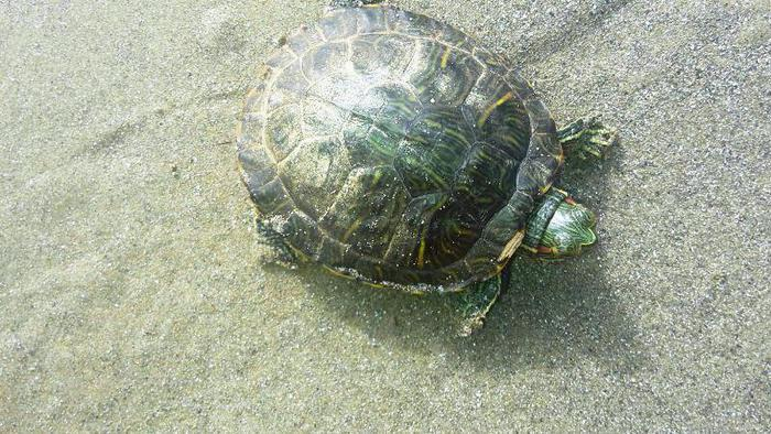 Tartarughe d 39 acqua dolce in spiaggia marche for Tartarughe acqua dolce prezzo