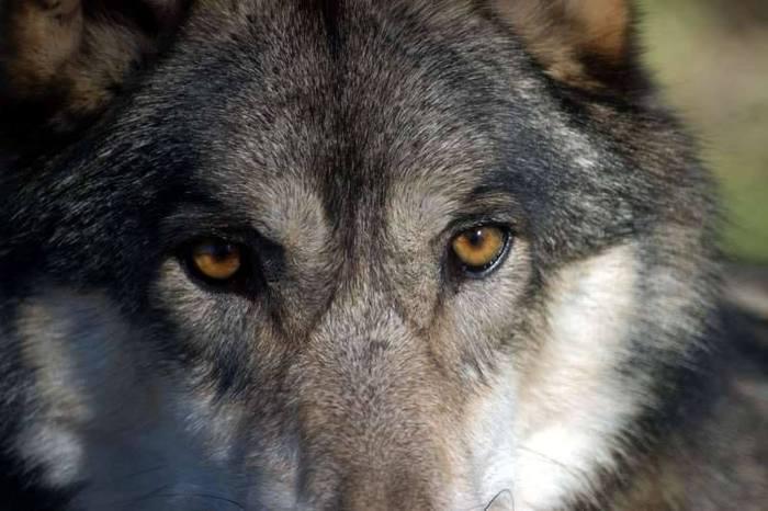 Oipa, Vda come ha usato fondi per lupo? - Agenzia ANSA