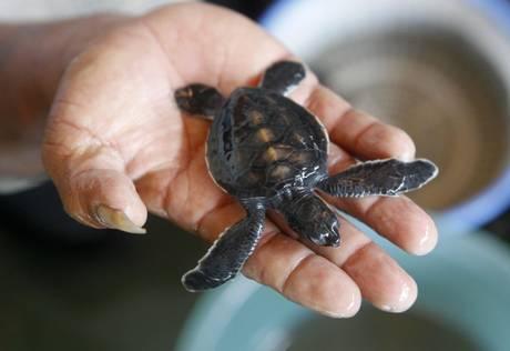 Grognards sos tartarughe specie da proteggere for Tartarughe appena nate