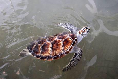 Grognards sos tartarughe specie da proteggere for Vasche per tartarughe marine