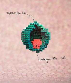 Rappresentazione grafica, con i mattoncini delle costruzioni, dell'embrione ai primi stadi dello sviluppo. In verde l'involucro da cui nascerà la placenta, in rosso le cellule staminali che daranno origine all'organismo (fonte: Nicolas Rivron)
