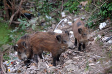 Radioactive boars 'could be tainted' from Chernobyl meltdown