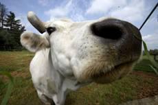 Mucca clonata ora produce latte umano