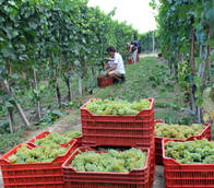 Italian wine production down in 2012