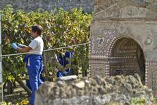Pompeii vineyard reaps 50 tonnes of grapes this year