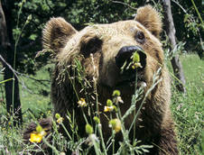 Italy moves to save Marsican brown bear