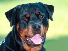Family Rottweilers maul grandma and two-year-old grandson