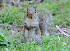Grey squirrels captured, neutered to preserve red squirrels