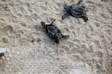 Baby turtles hatch on southern Italian beach