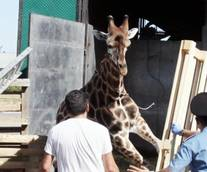 Escaped giraffe tranquilized, then dies of cardiac arrest