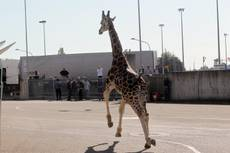 Escaped giraffe leads police chase through Italian town