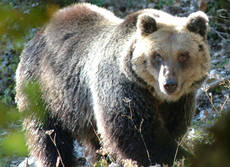 WWF calls on Italy to save Marsican brown bear