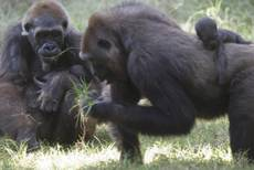 Mountain gorillas reduced by 75% in Central Africa