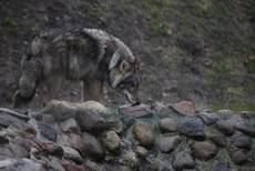 WWF sounds alarm over rising number of Tuscan wolves killed