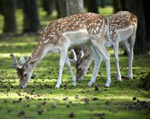 Village mascot deer killed in Romagna