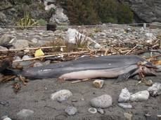 Dead spotted dolphin found on elba island beach