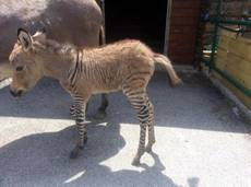 Rare zebra-donkey mix born in Florence animal reserve