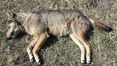 Young, healthy, maybe pregnant wolf shot dead with rifle
