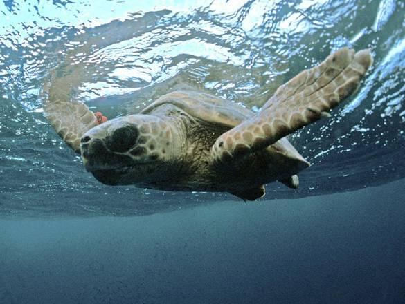 Bocche di bonifacio liberate tartarughe natura for Tartarughe di mare domestiche