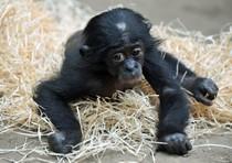 Stesse emozioni per bebè uomo e scimmia