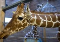 La giraffa Marius e' stata uccisa