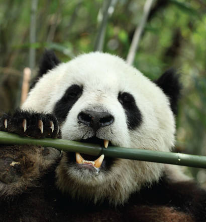Panda gigante che mangia il bambù (fonte: fuwen wei, ist. di zoologia