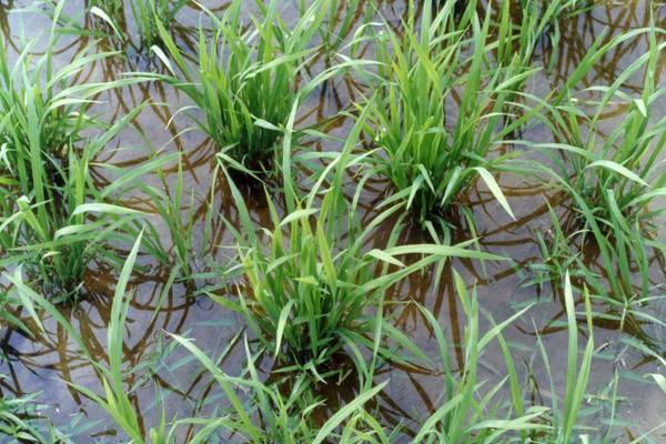 Alluvioni cos le piante respirano sott acqua for Pianta della foresta di pioppo