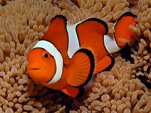 Oceani piu 39 acidi a rischio pesci pagliaccio clima for Un pesce allevato in acque stagnanti