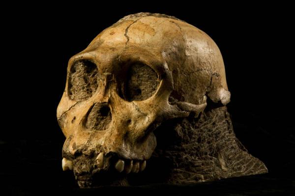 Il cranio dell'Australopitecus sediba (fonte: Eloff, Lee Berger e Università di Witwatersrand)