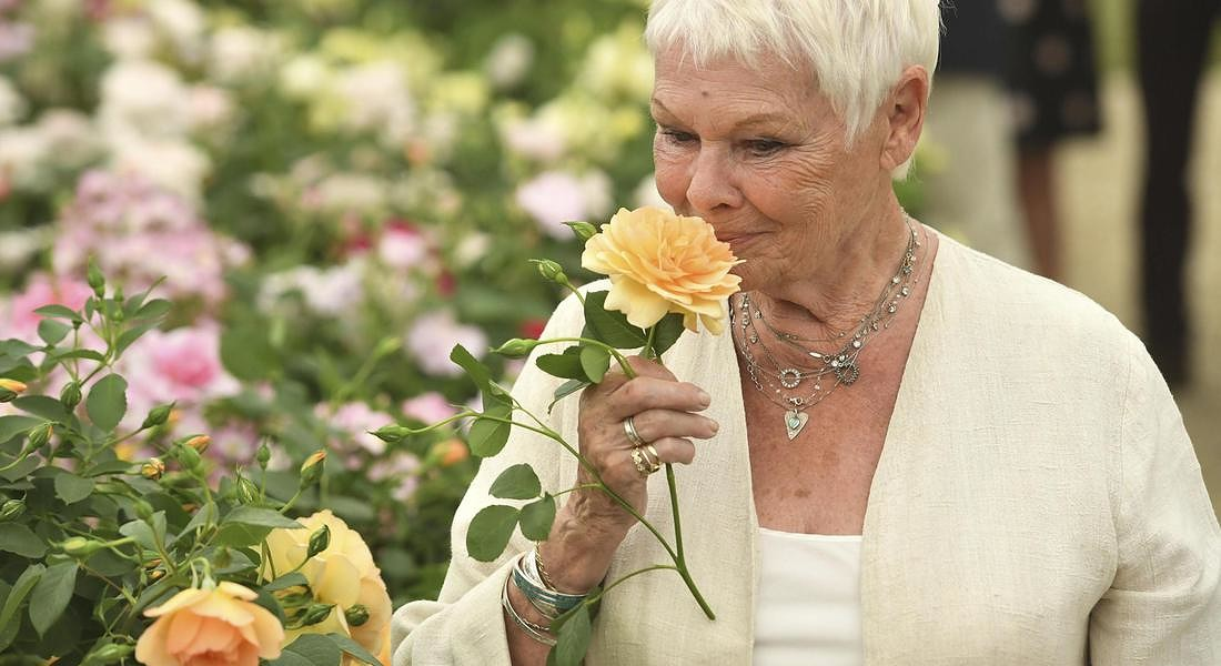 British actress Judi Dench sniffs and holds an apricot rose launched by Shropshire grower David Austin Roses during the press preview of the Chelsea Flower Show at the Royal Hospital Chelsea, London Monday May 22, 2017. © AP
