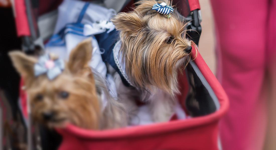 passeggini per cani, in questa foto una coppia di Yorkshire foto iStock. © Ansa