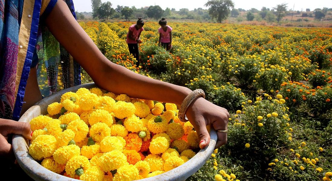 Indian villagers collect marigold flowers near Bhopal in preparation for the Diwali festival © EPA