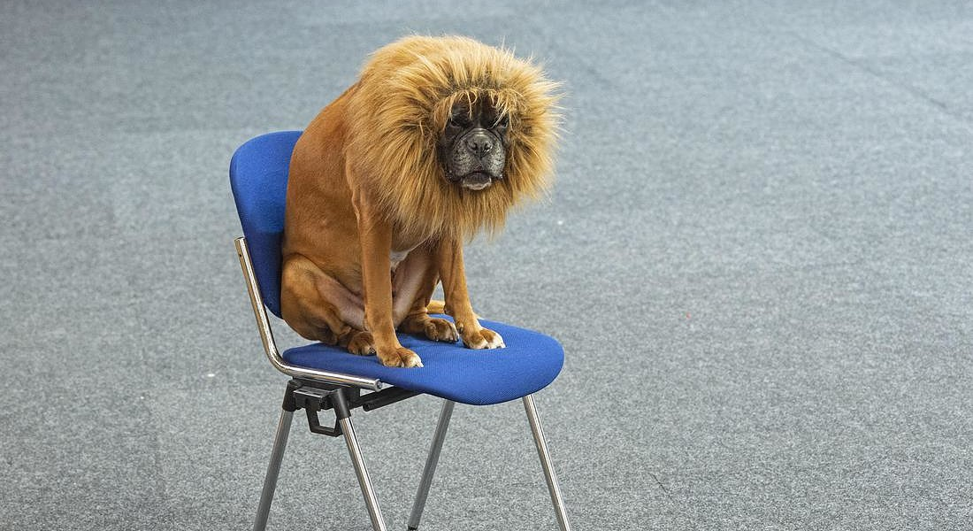 A boxer dog dressed a a lion waits before a performance during an international dog and cat exhibition in Erfurt, Germany, © AP
