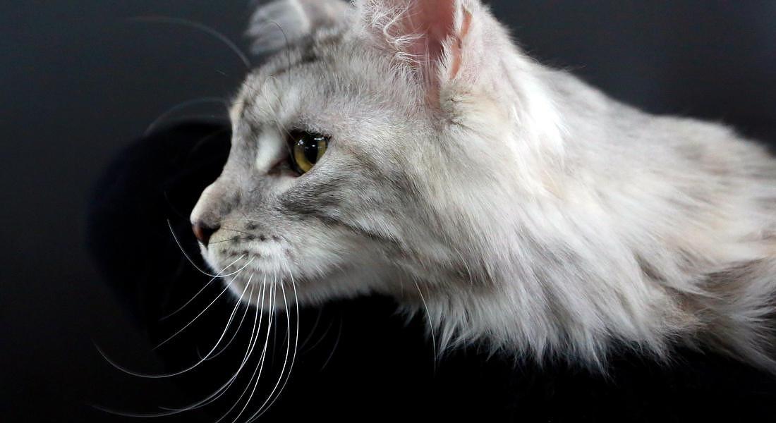 Cat exhibition in Bishkek [ARCHIVE MATERIAL 20171202 ] © ANSA
