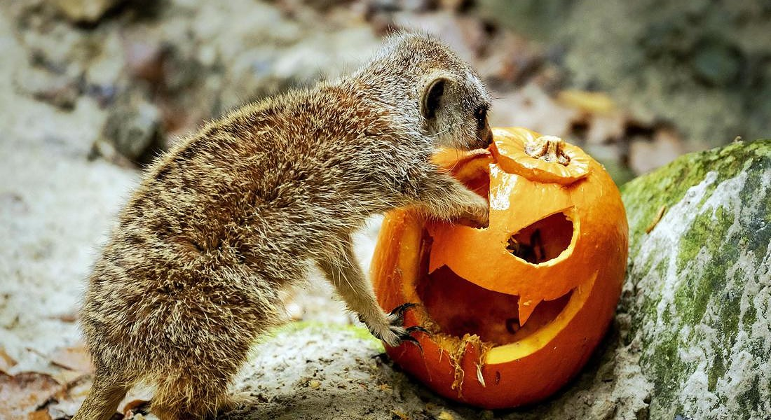 Pumpkins for the animals © EPA