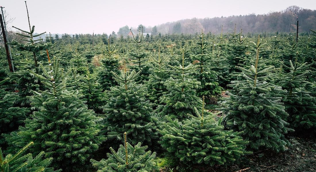 Christmas Trees from Northern Germany [ARCHIVE MATERIAL 20191206 ] © ANSA