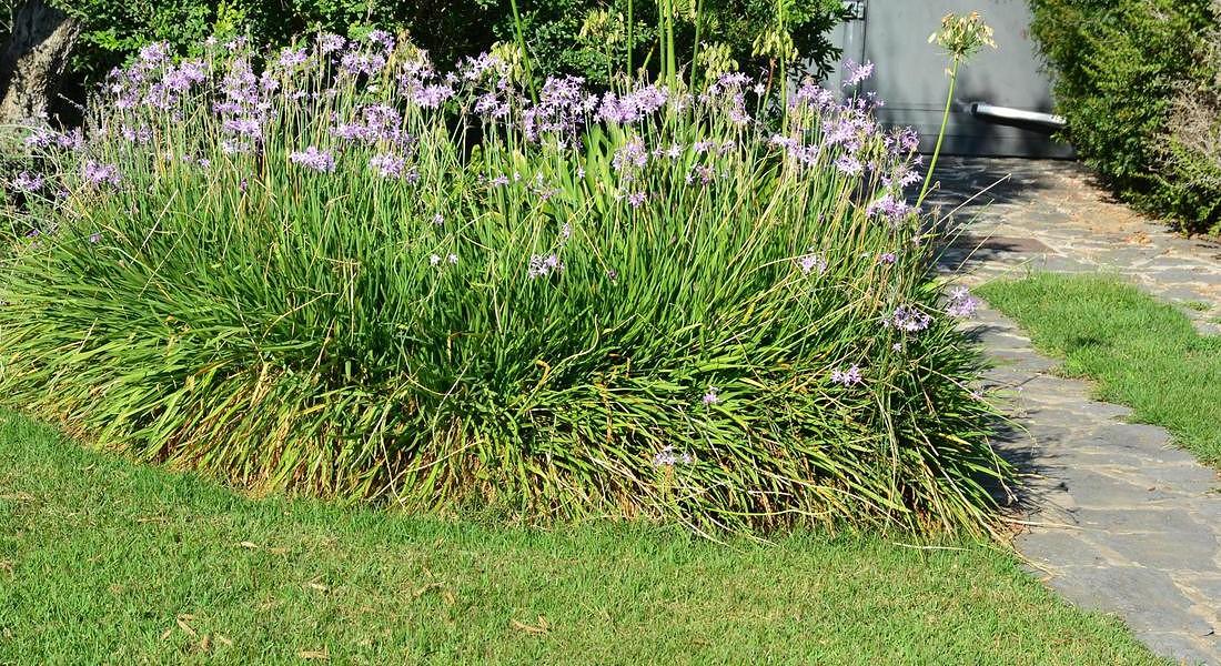 Trend prati : Nuovi prati di Zoysia japonica resistono anche un mese senza taglio © ANSA