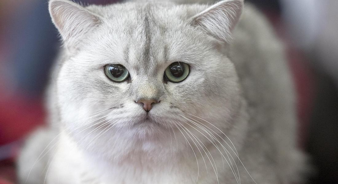 Feline exhibition in Chisinau © EPA