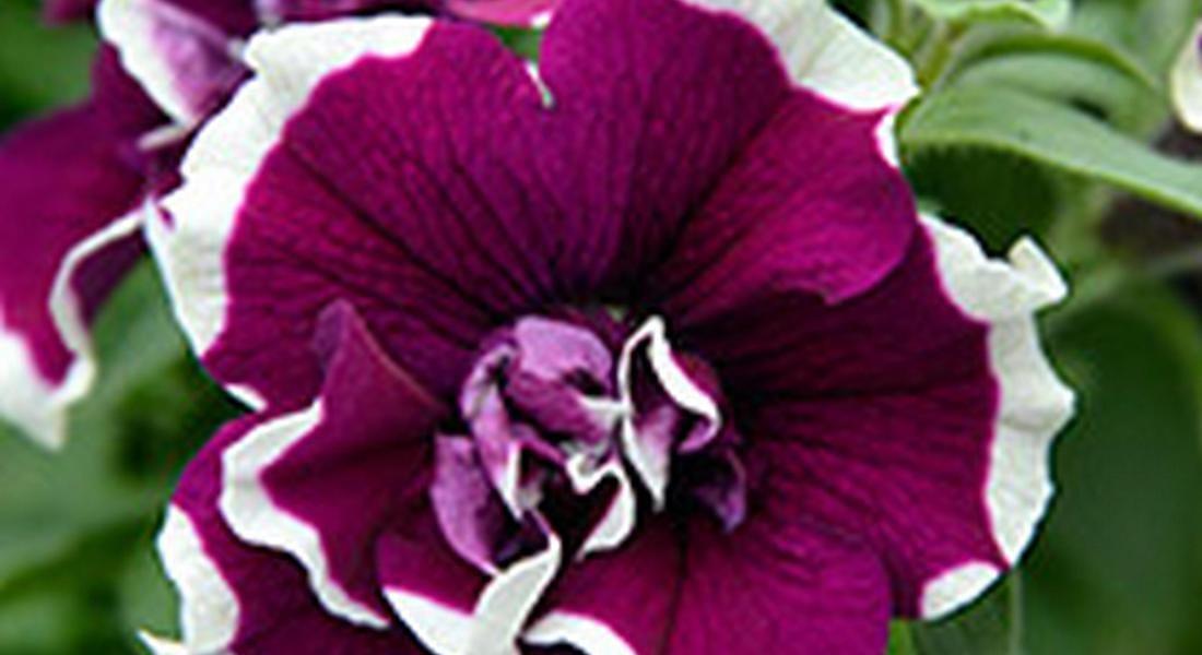 Planta Petunia-DoppiaBicolor_Bella òmostra Tutti i colori delle petunie © ANSA