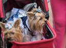 passeggini per cani, in questa foto una coppia di Yorkshire foto iStock. (ANSA)
