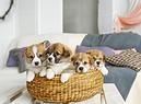 Cuccioli di cane. foto iStock. (ANSA)