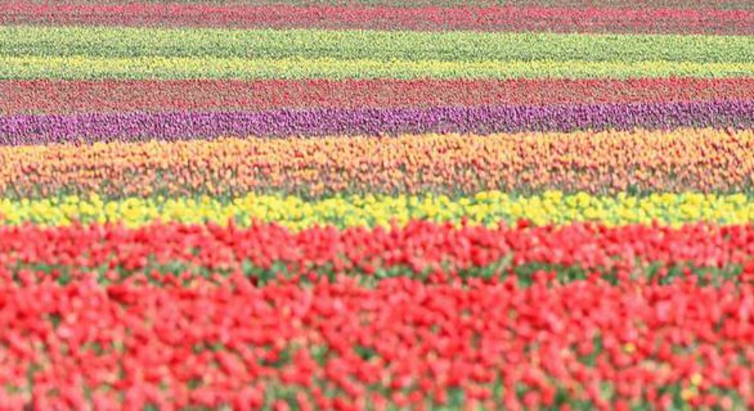 Tulip fields in Magdeburg Boerde © EPA