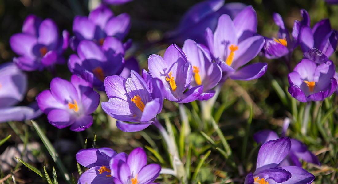 Crocus flowers bloom in Krakow © EPA