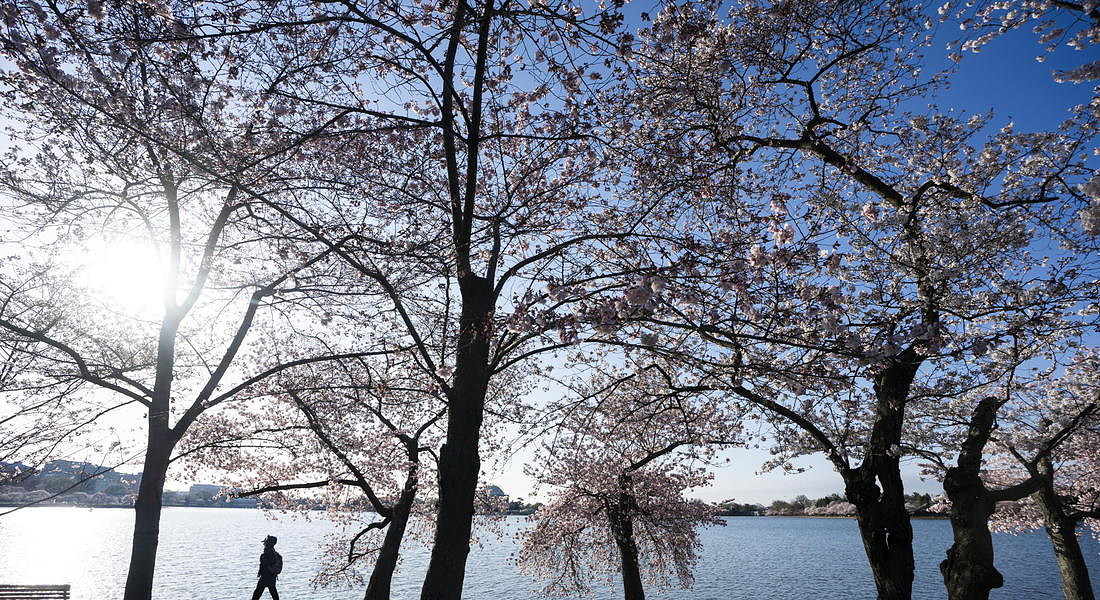 Few visitors to see cherry blossoms in Washington, DC as coronavirus pandemic rages on © EPA
