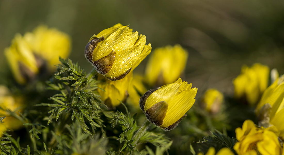 Transylvanian pheasant's eye, Adonis x hybrida, bloom in the Koros-Maros National Park © EPA