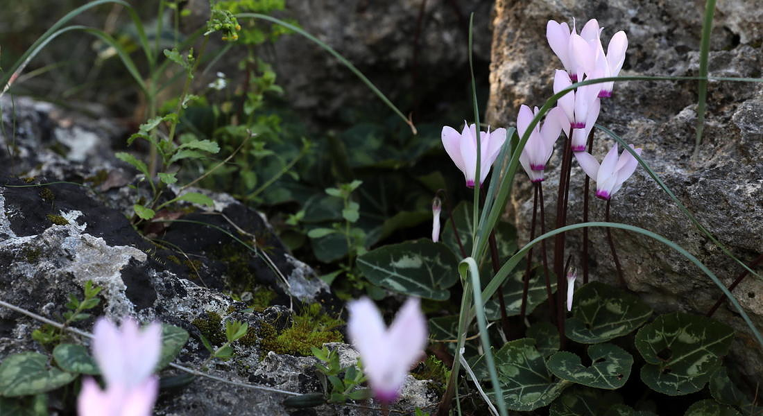 Cyprus national flower the Cyclamen Cyprium or Cyprus Cyclamen © EPA