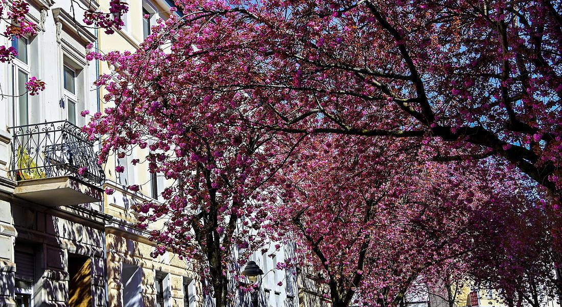 Cherry trees bloom in Bonn © EPA