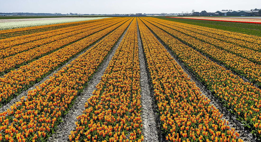 Blooming Bollenstreek © EPA