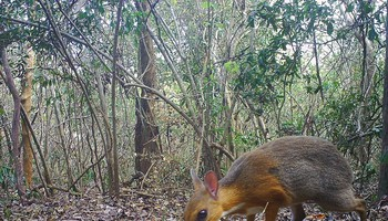 Avvistato il Tragulo del Vietnam (fonte: Southern Institute of Ecology/Global Wildlife Conservation/Leibniz Institute for Zoo and Wildlife Research/NCNP) (ANSA)